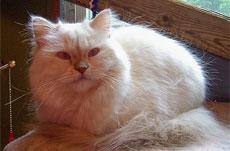 Токсоплазмоз кошки или коты